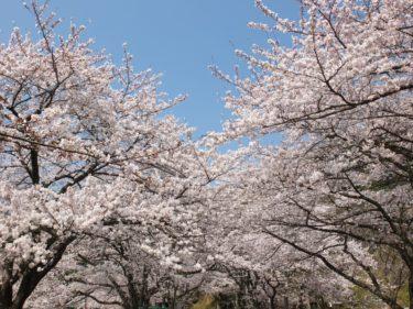 海津大崎の桜 2020年開花情報  時期・見どころは?