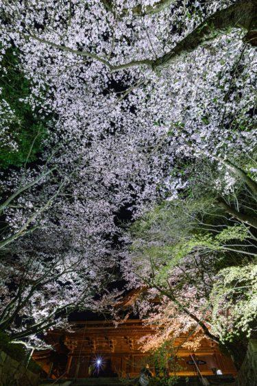 三井寺(園城寺)の桜 2020 開花情報 見どころ、ライトアップは中止?