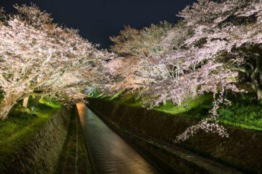 琵琶湖疎水の桜の見ごろは? 2020年春のライトアップは中止決定