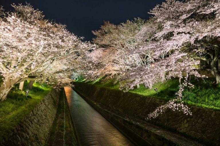 琵琶湖疎水の桜